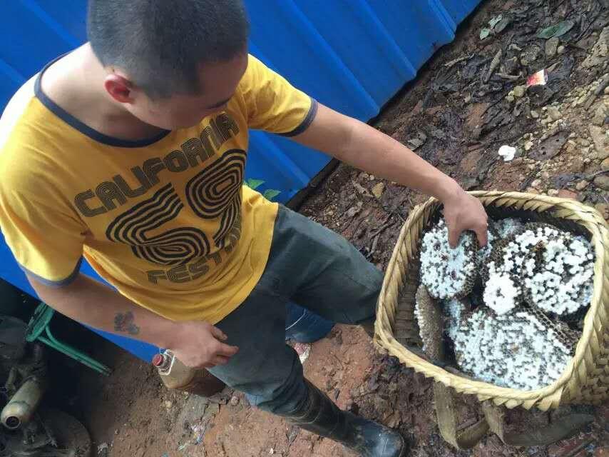 米易黄草人工养殖马蜂,大土蜂,长期招收学员 爱
