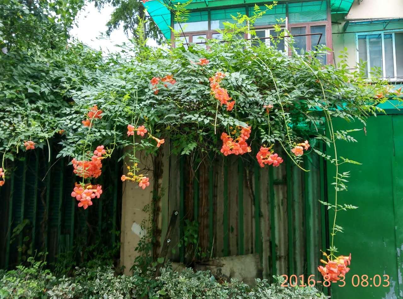 第一次见到凌霄花的子,像四季豆一样。 养花帮