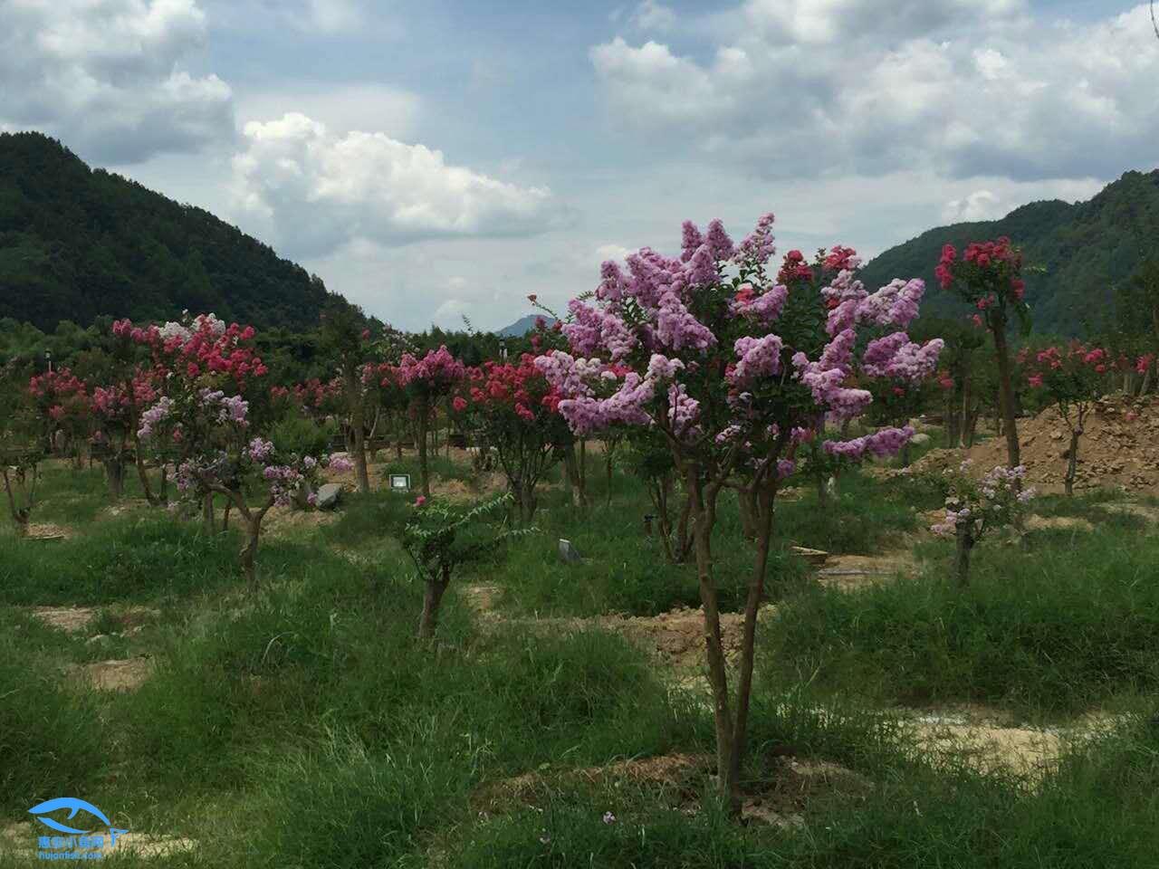 炎热的夏日带你欣赏一下政和紫薇园里盛开的紫